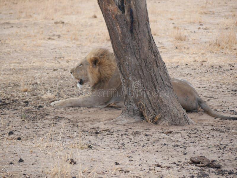 Lion on safari in Tarangiri-Ngorongoro. Safari, savannah, lion in the wild, wildlife, nature around us, African nature, safari in Africa, safari in Tanzania royalty free stock photo
