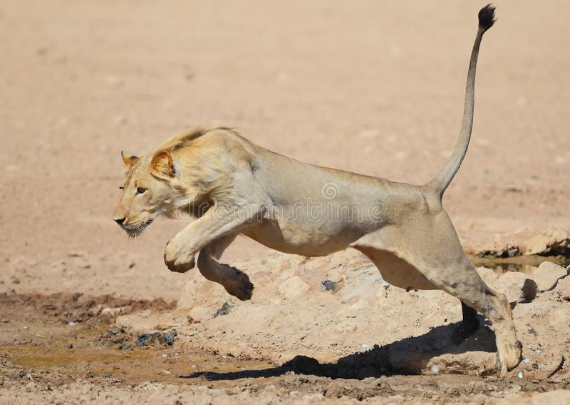 Lion sautant comme un chat l'eau dans le Kalahari image stock