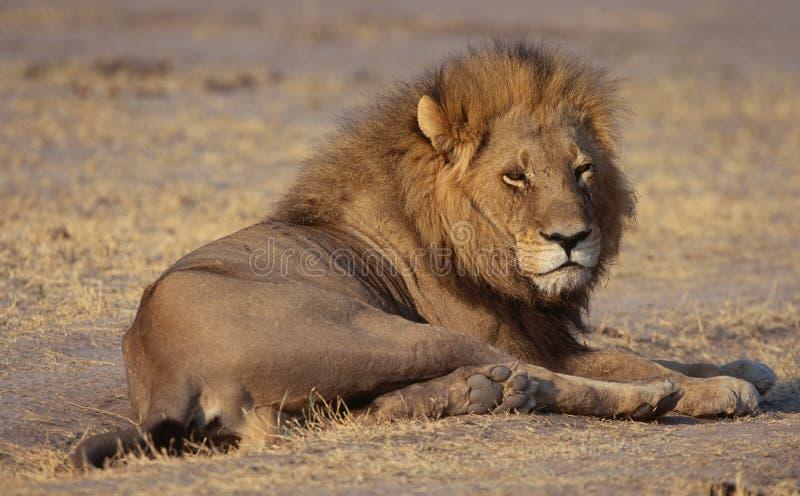 Lion in savanna royalty free stock image