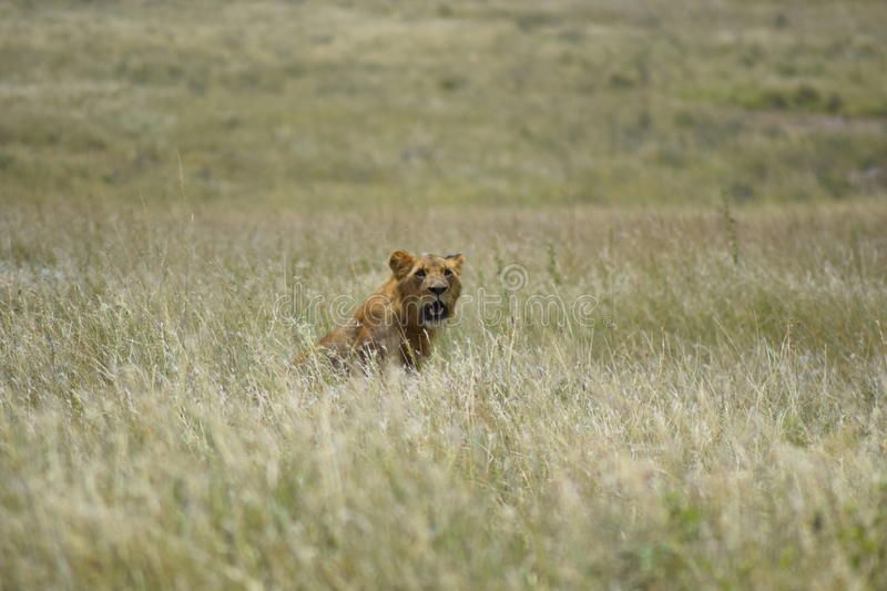 Lion in the Savannah. Lio looking up from the long grass royalty free stock photo