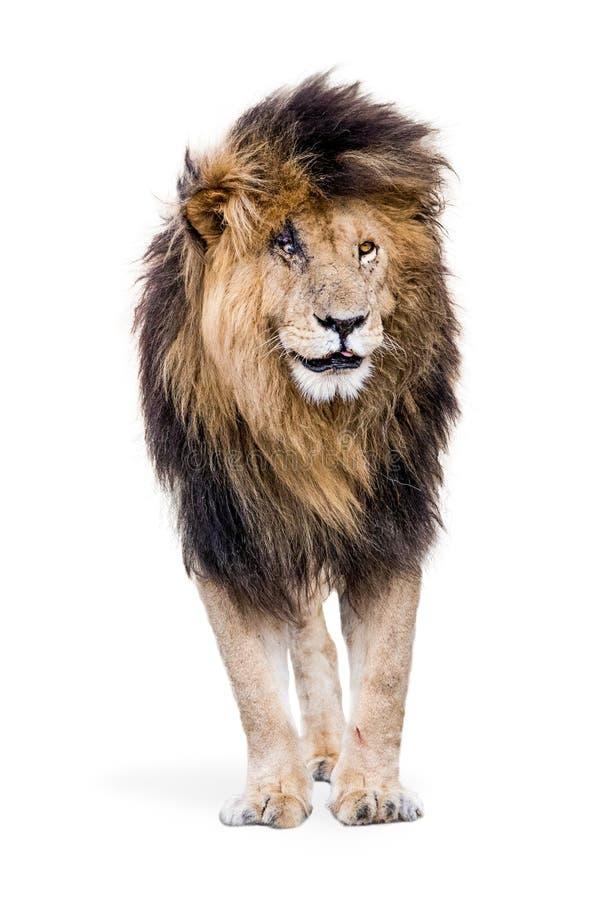 Lion Scar célèbre d'isolement images stock