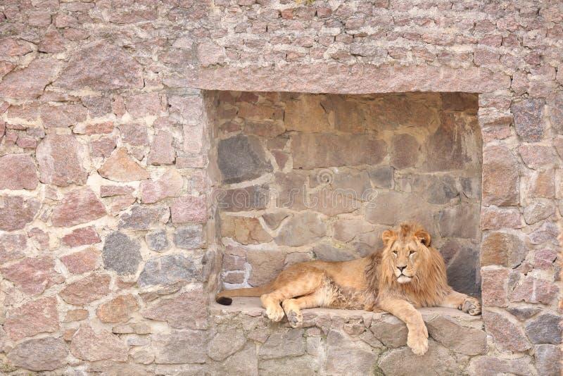 Lion se reposant dans le jardin zoologique image stock