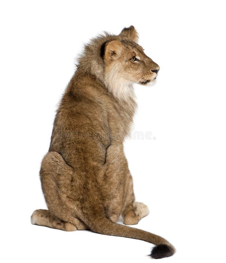 Lion se reposant devant le fond blanc images stock