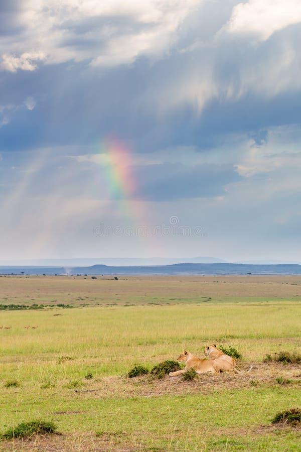 Lion se trouvant sur la savane photo libre de droits