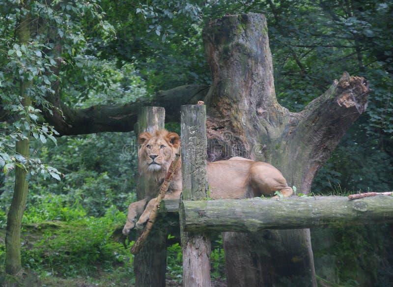 Lion se trouvant sur le bois dans la forêt images stock