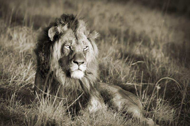 Lion sepia stock photos