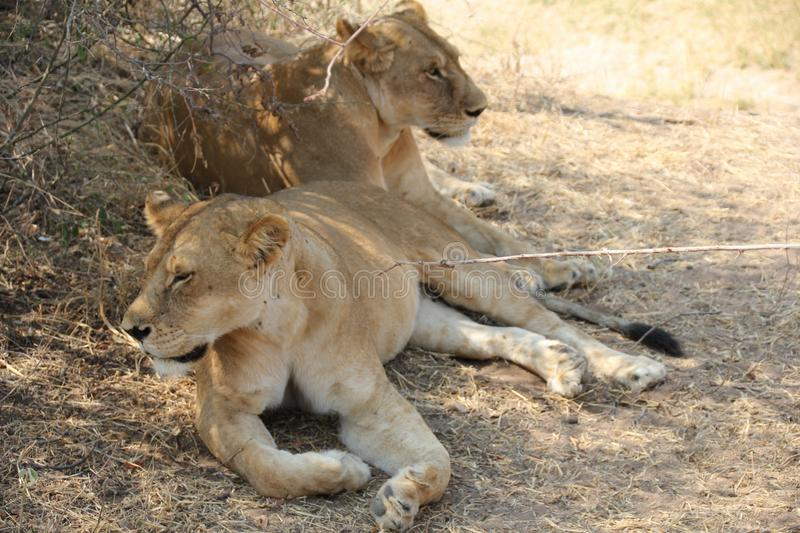 Lion under the tree at ruaha national park stock image