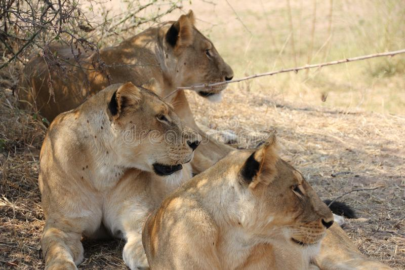 Lion under the tree at ruaha national park royalty free stock photo