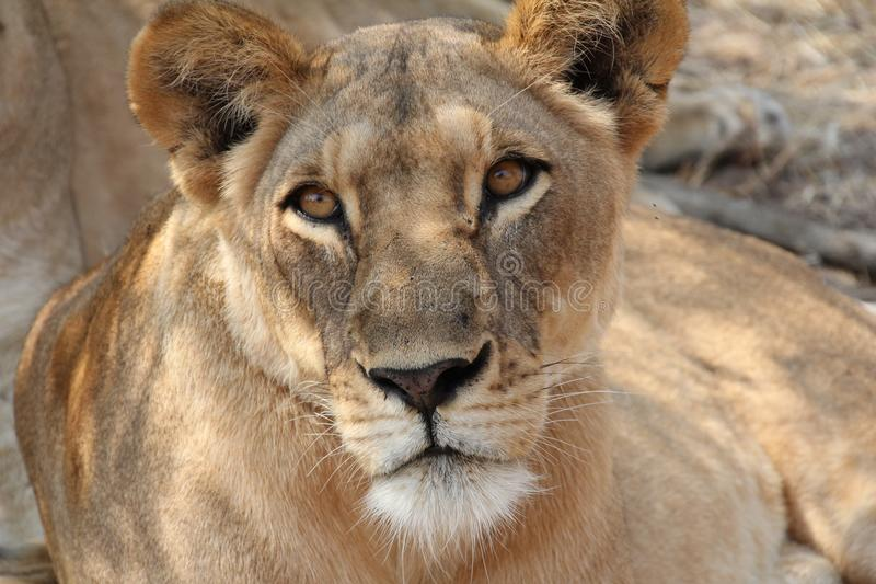 Lion under the tree at ruaha national park royalty free stock images