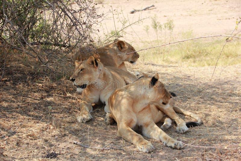 Lion under the tree at ruaha national park stock photos