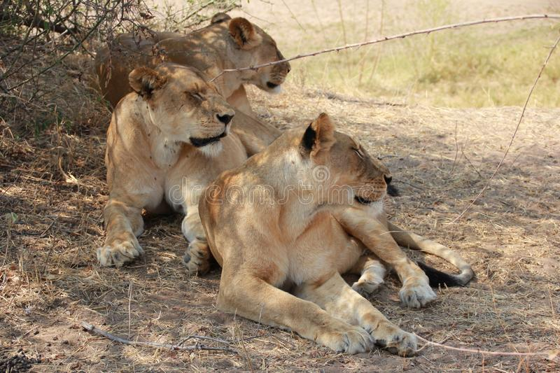 Lion under the tree at ruaha national park stock photography