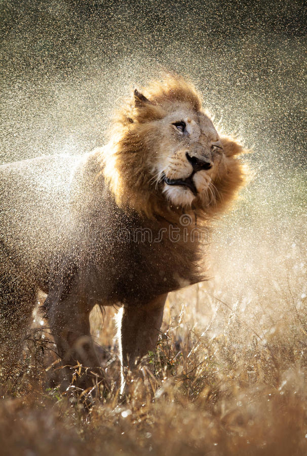 Lion shaking off water. Male lion shaking off the water after a rainstorm - Kruger National Park - South Africa stock photography
