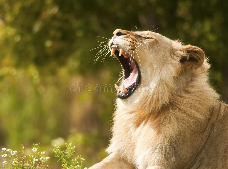 Lion Showing Teeth stock images