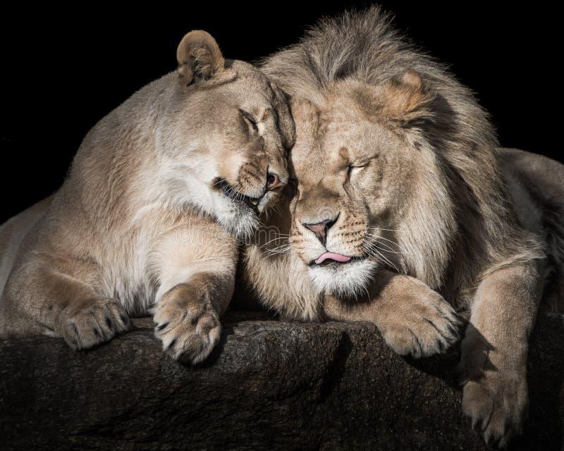Lion Siblings imagens de stock royalty free