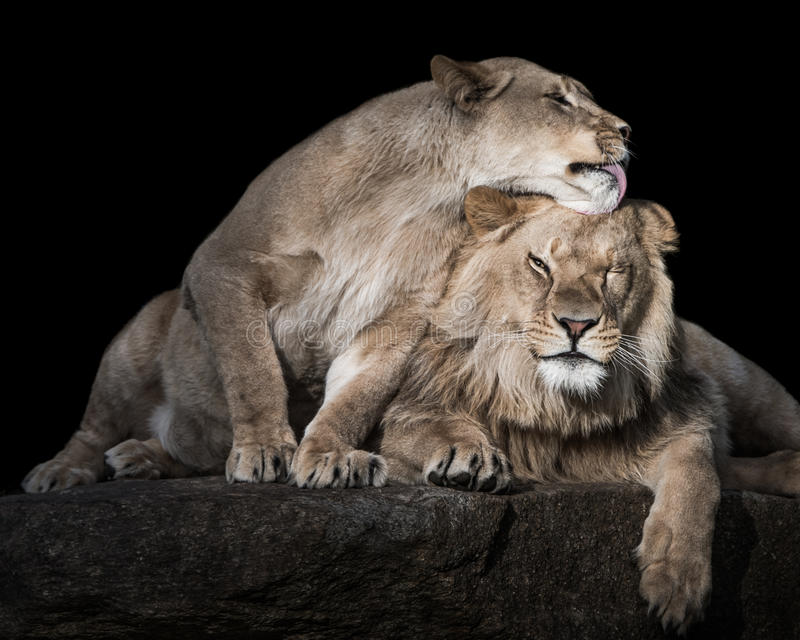 Lion Siblings III imagem de stock