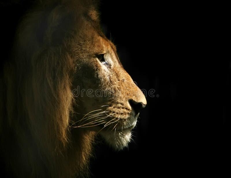 Lion Side Portrait royalty free stock photo