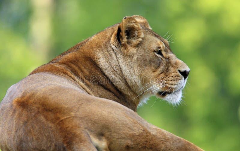 Lion simple de femelle adulte dans le jardin zoologique photo stock