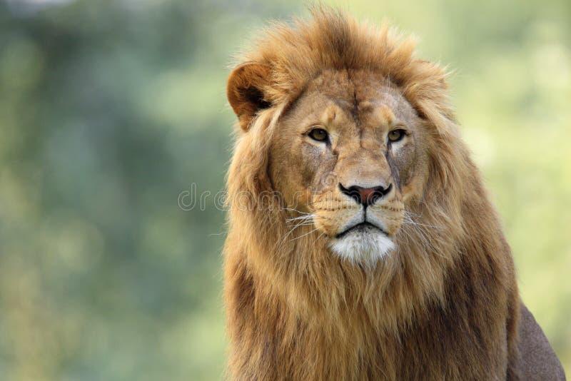 Lion simple de mâle adulte dans le jardin zoologique photographie stock