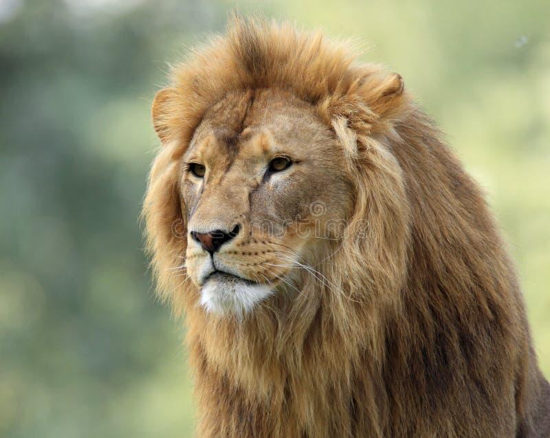 Lion simple de mâle adulte dans le jardin zoologique image stock