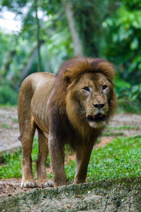 Lion at the Singapore Zoo royalty free stock image