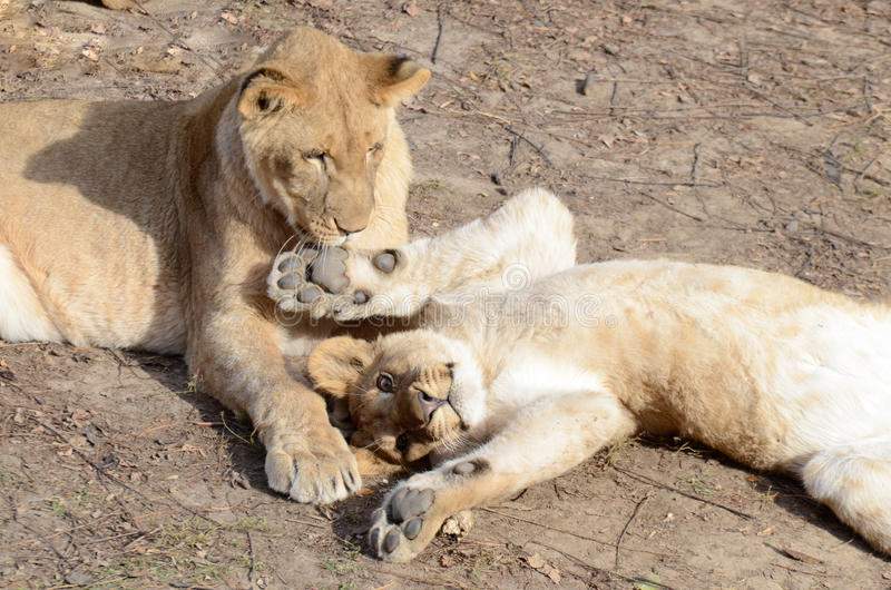 Lion sisters cuddle. Two young lion cubs play and cuddle on the ground royalty free stock image