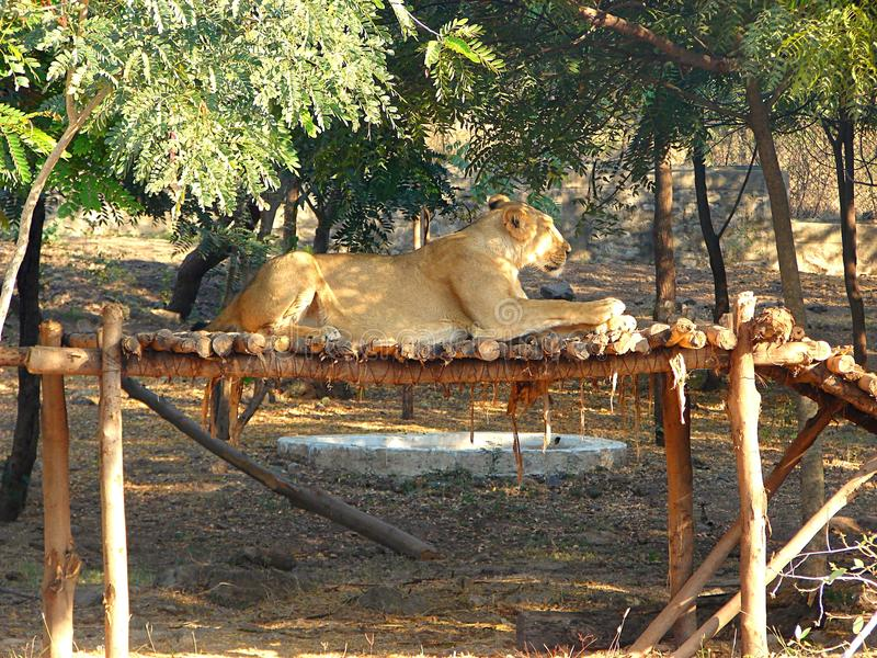 Lion Sitting asiático femenino sobre una estructura de madera imagenes de archivo