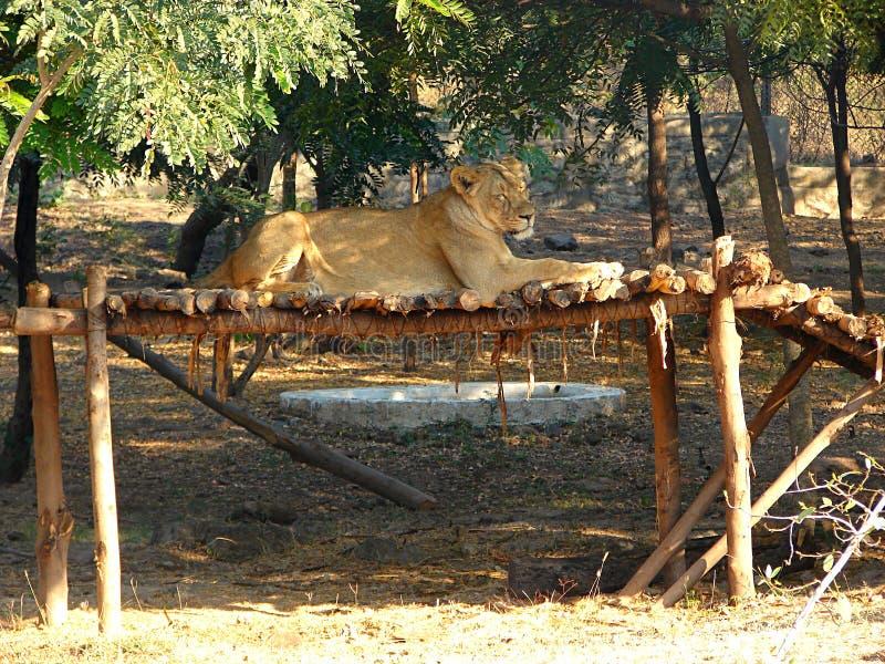 Lion Sitting asiático femenino sobre una estructura de madera fotos de archivo