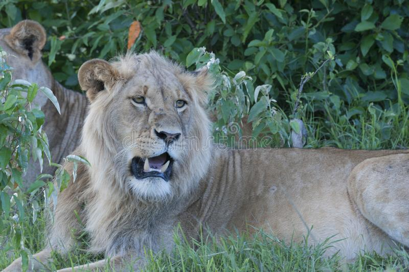 Lion sitting down under tree with lioness in background, stock photography