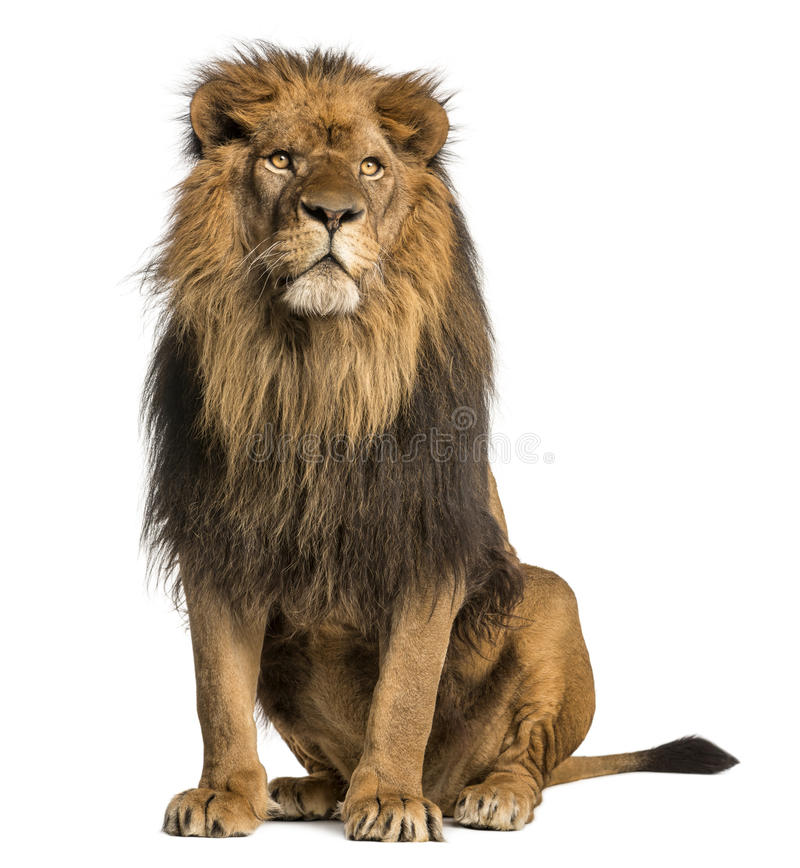 Lion sitting, looking away, Panthera Leo, 10 years old royalty free stock photos
