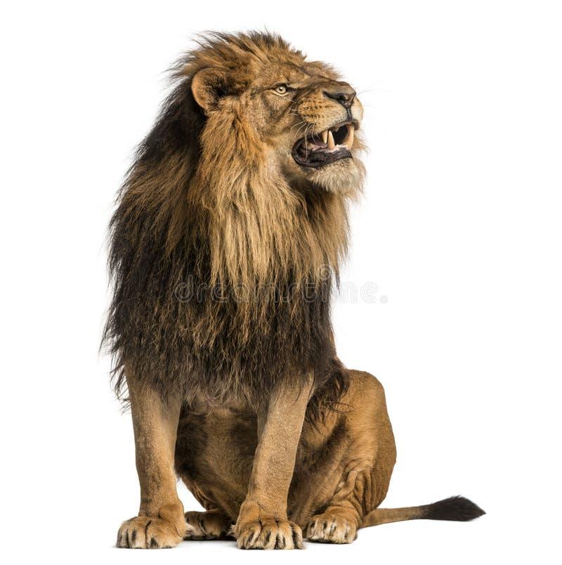 Lion sitting, roaring, Panthera Leo, 10 years old, isolated on w. Hite stock photo