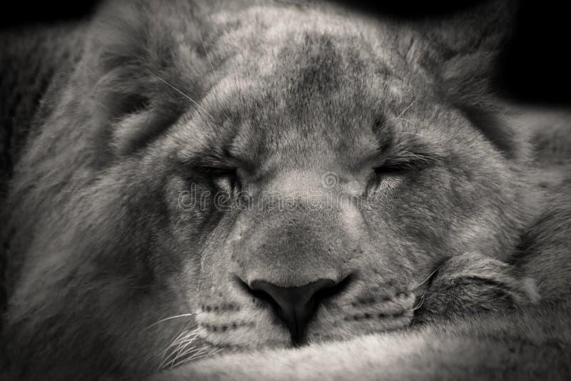 Lion Sleeping Animal royalty free stock photo