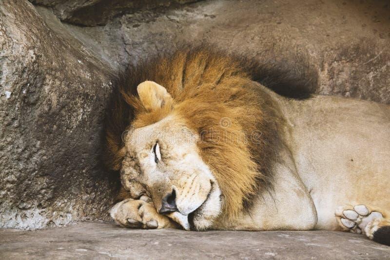 Lion Sleeping Beside Rock royalty free stock photos