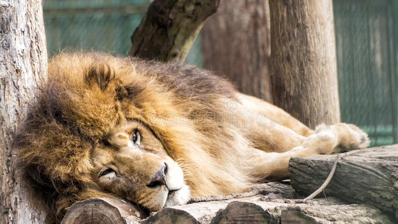Lion sleeping stock images