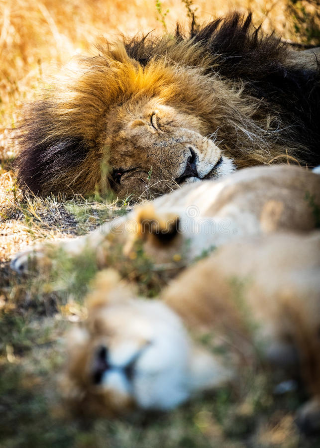 Lion Sleeping With Two Lioness royalty-vrije stock foto's