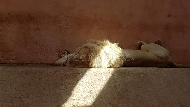 A lion sleeps in a zoo. Sleeping lion. A ray of sunshine falls on a lion`s mane.  stock photo