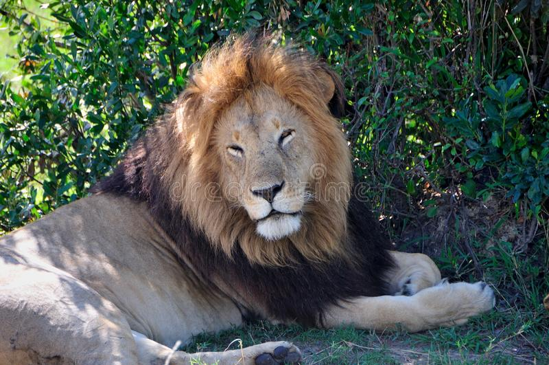 Lion somnolent à la nuance photographie stock