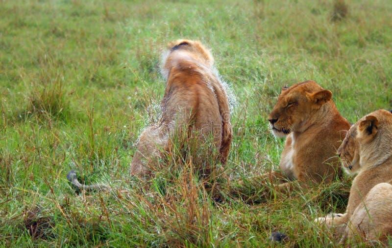 Lion sous la pluie image libre de droits