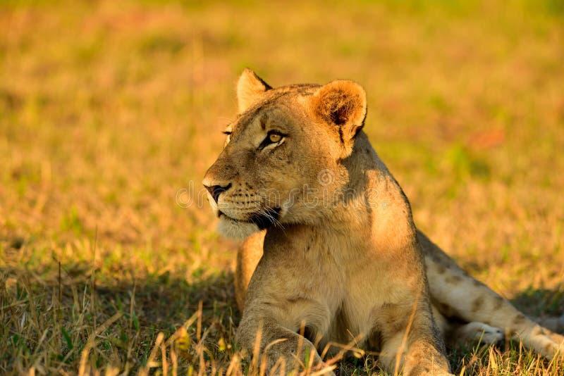 Lion South Africa femminile immagine stock
