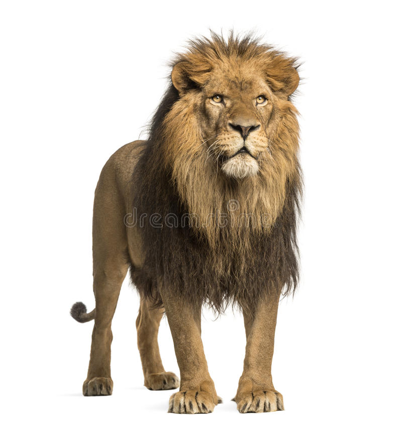 Lion standing, Panthera Leo, 10 years old, isolated. On white royalty free stock photo