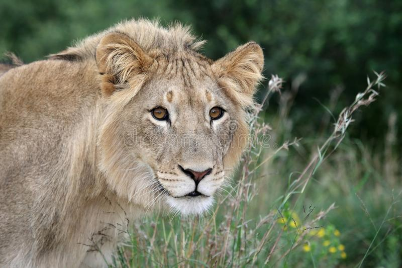 Download Lion Stare Royalty Free Stock Photo - Image: 19175625