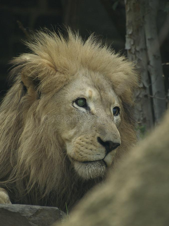 Lion Stares Out To Side photos libres de droits