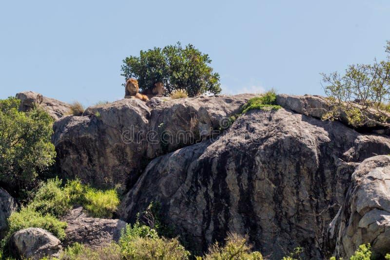Lion Sunbathing fotos de archivo libres de regalías