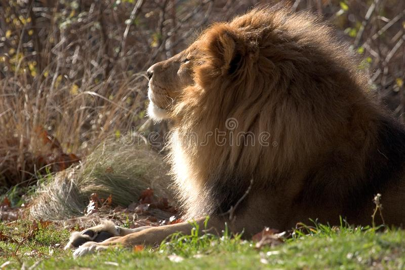 Lion On A Sunny Day Free Stock Photography