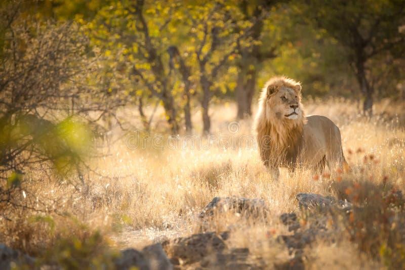 Lion in the sunrise light, Etosha National Park, Namibia. Dominant male lion searching his surroundings while protecting his harem, Etosha National Park, Namibia royalty free stock image