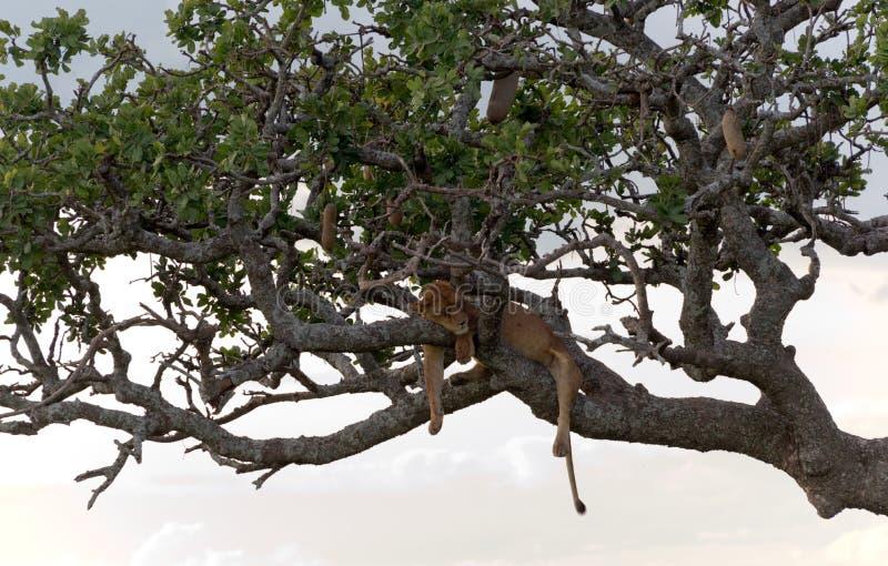 Lion sur l'arbre image stock