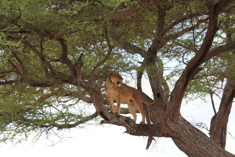 Lion sur l'arbre, Tanzanie photos libres de droits
