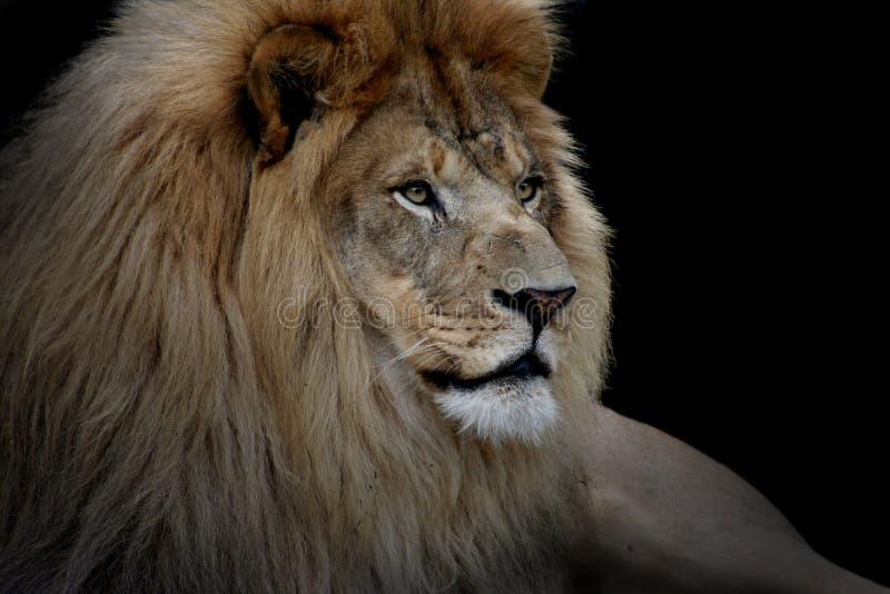 Lion sur le noir