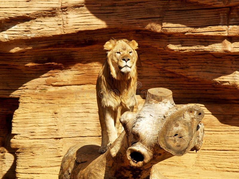 Lion sur le rondin en bois photo stock