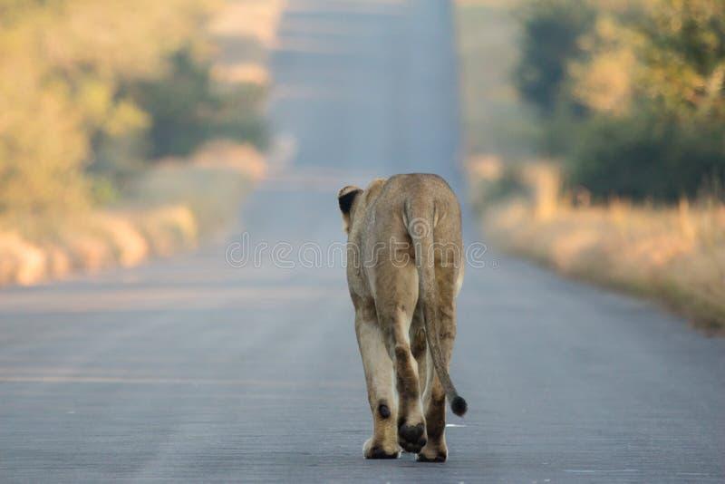 Lion sur le vagabondage images libres de droits
