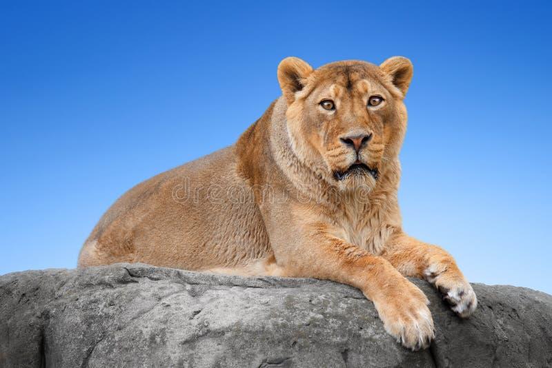 Lion sur une roche photos libres de droits